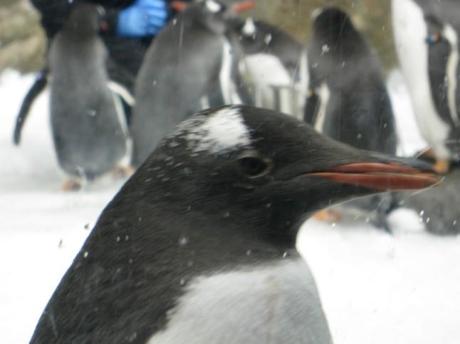 De pinguins in het Melbourne Aquarium houden wel van het koude weer!