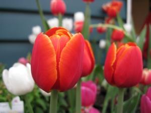 De tulpen bloeien weer in Melbourne!